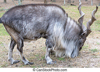 Horned goat (markhor, lat.: capra falconeri heptneri). Side...