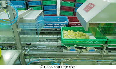 Automatic Chicks disinfection in Factory - Small chicks in a...
