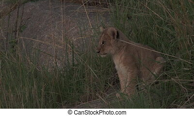 Lion cub sitting between grass on a rock