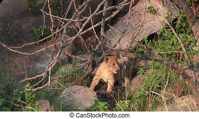 Lion cub playing with a tree