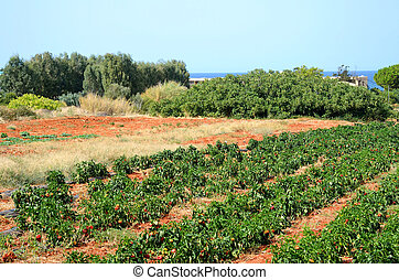 Field with pepper plants - Field with pepper plant at summer...