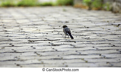 Wagtail on a stone tile.