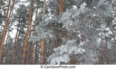 Winter coniferous forest - Winter deciduous forest on a...