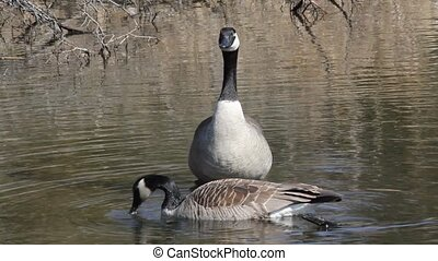 Goose Watch - Canadian Goose watching over its mate as it...