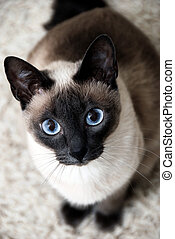 Siamese Cat - Siamese cat with curious look