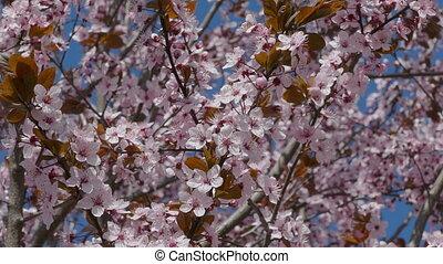 Blooming tree in spring - Wild plum flowers in spring,...