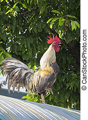 fighting cock,chicken,bantam - A gamecock is a type of...