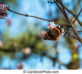 collecting pollen from flowering bush - Red admiral...