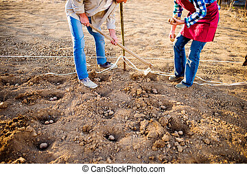Unrecognizable senior couple planting potatoes in a row into...