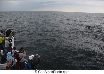Whale watching Cape Cod - Whale watching in the Atlantic...