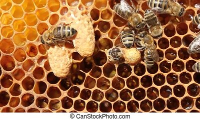 cocoons future queen bees - Future Queen Bee develops in a...