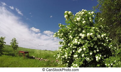 Snowball tree viburnum flowering by the red wooden table in...