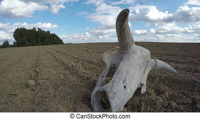 Broken cow skull in the field