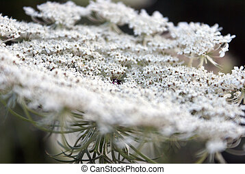 Queen Annes Lace - A lovely closeup view of a Queen Annes...