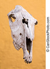 cow skull - Close up view of a cow skull against a yellow...