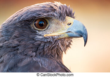 golden eagle (Aquila chrysaetos) - Close up view of a golden...