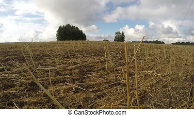 Field of harvested rapeseed stalks - Field full of harvested...
