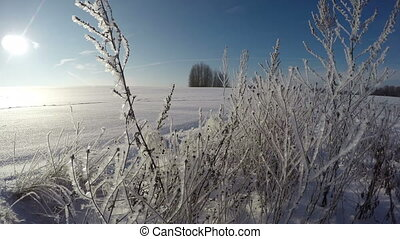 hoarfrost covered grass stalks - Sun shining through old...