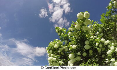 Viburnum opulus flowering in spring - Guelder-rose bush...