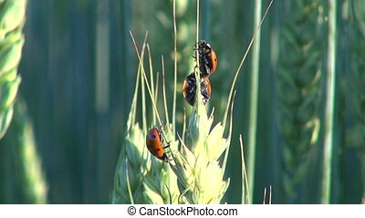 ladybugs crawling on wheat ear - Three red and black...