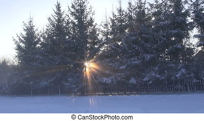 Sun shining through fir trees growing in row by the wooden...
