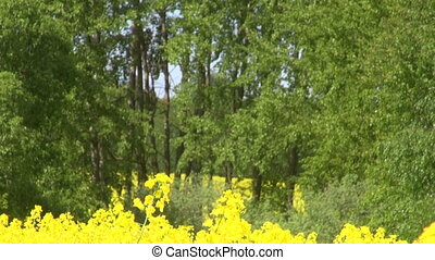 Rape seed field by the forest - Rape seed field flowering by...