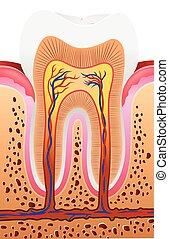 Illustration of Human Tooth Anatomy - Vector illustration of...
