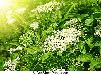 Blooming elderflower Sambucus nigra