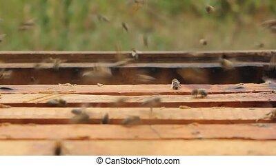 Work in the apiary beekeeper - Beekeeper inspecting bees...