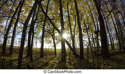 Yellow aspen tree forest in fall - Yellow aspen tree leaves...