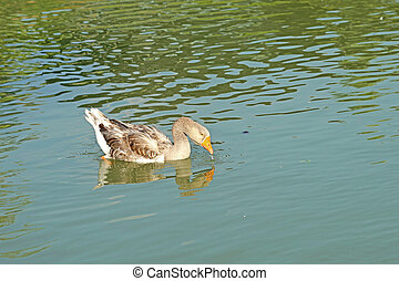 group of domestic goose in pond - group of domestic goose...