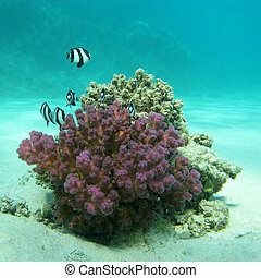 coral reef with exotic fishes dascyllus in tropical sea,...
