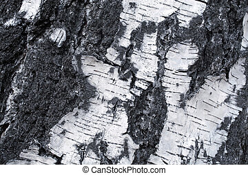 birch bark - Texture of birch bark