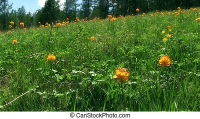 Spring Meadow Globeflowers