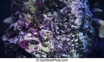 boxer Shrimp - boxer shrimp huge mustache close to