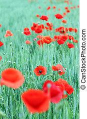poppies flower in green field spring season