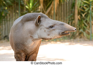 tapir - the strange tapir animal with him strange nose