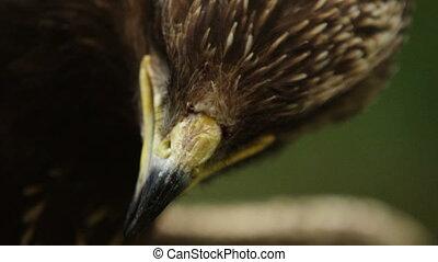 Epic close-up macro portrait of a predator bird blinking its...