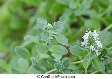 Marjoram with white flowers blossoming in the garden -...