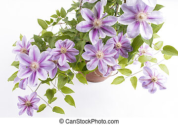 Potted clematis flowers - Potted purple clematis flowers on...