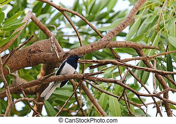 macho, oriental, urraca, Robin, pájaro, en, negro, y,...