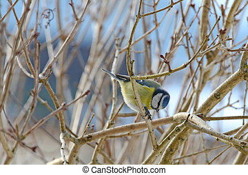 Eurasian Blue Tit bird bowing with sunflower seed between...