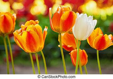 cidade, tiro,  tulips, amarelo-laranja, cedo, parque, luminoso,  closeup, primavera,  bloomed