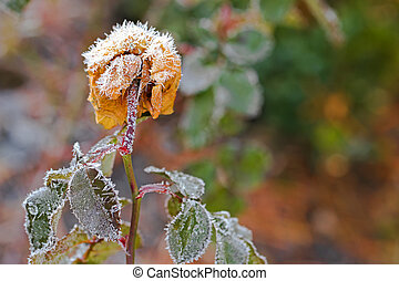 Small white ice crystals forming on dried old rose flower in...
