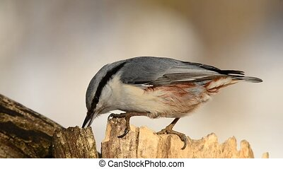 Nuthatch Sitta carolinensis, eating sunflower seeds out of a...