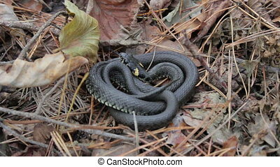 Grass Snake Natrix natrix - snake lies and sizzle in the...