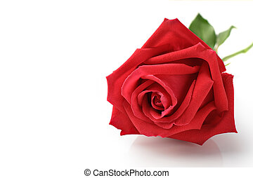 Close Up of Rose isolated on white background.