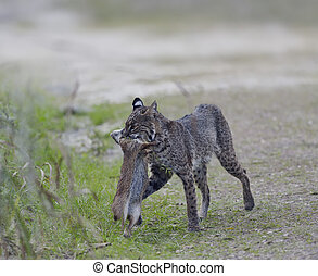 Wild Bobcat Hunting - Wild Bobcat Holds a Rabbit in its...