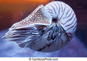 Nautilus pompilius or chambered nautilus, is a cephalopods