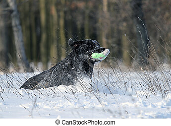 nice black labrador in winter in snow - nice black labrador...